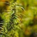 Cannabis Vs. Marijuana Vs. Hemp: All You Need To Know